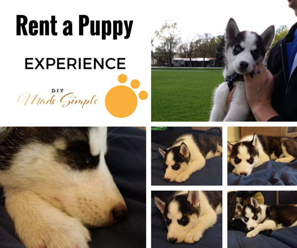rent a puppy experience